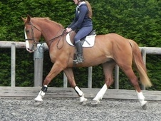 All Rounder horse - 6 yrs 5 mths 16.1 hh Chestnut - West Sussex