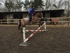 13. 3 strawberry roan mare for sale