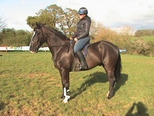Riding Club Horses/Ponies horse - 6 yrs 15.3 hh Black - Devon