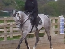 All Rounder horse - 5 yrs 16.0 hh Grey - Staffordshire