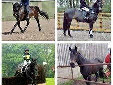 All Rounder/eventer For Sale