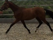 Future Top Class Jumping Filly