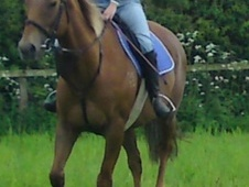 All Rounder horse - 12 yrs 5 mths 16.2 hh Chestnut - North Humber...