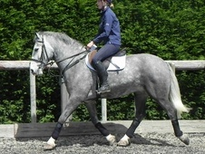 All Rounder horse - 6 yrs 4 mths 15.0 hh Dapple Grey - West Sussex