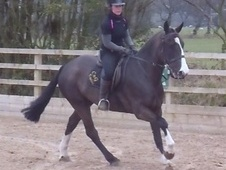 All Rounder horse - 5 yrs 15.3 hh Black - Staffordshire