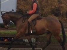 Large Riding Horse / Dressage / Allrounder