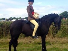 13. 2hh Pony Club/all Rounder Pony