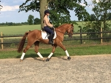 Potential Dressage/Event Horse