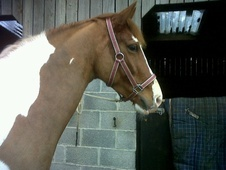 Coloured horse - 6 yrs 15.0 hh Coloured - Somerset