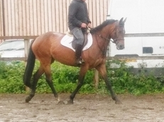 Very pretty Bay Mare 15.3hh