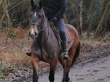 All Rounder horse - 5 yrs 16.1 hh  - Norfolk