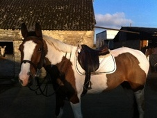 All Rounder horse - 5 yrs 11 mths 16.0 hh Coloured - Wiltshire