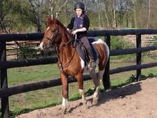 Cobs horse - 4 yrs 15.0 hh  - Norfolk