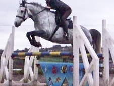 All Rounder horse - 8 yrs 15.2 hh Dapple Grey - Derbyshire