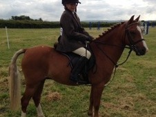 12HH Welsh Pony