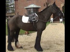 All Rounder horse -  15.1 hh  - Hampshire