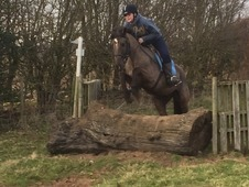 Cobs horse - 4 yrs 15 hh - Cheshire