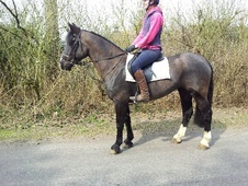 All Rounder horse - 5 yrs 2 mths 15.0 hh Black - Suffolk