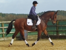 Stunning Potential Eventer/dressage/all Rounder