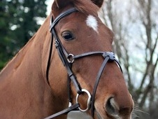 Gorgeous 16. 2 Hanoverian Mare for sale