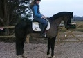 All Rounder horse - 5 yrs 9 mths 15.3 hh Black - Warwickshire