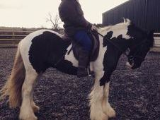 Cobs horse - 4 yrs 14.2 hh Coloured - Cheshire