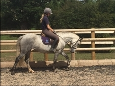 Holly registered 13. 2hh Connemara mare 5 years old