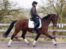Dressage horse - 7 yrs 15.0 hh Bay - Wiltshire
