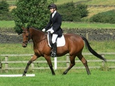 16hh Bay 10 Year Old Thoroughbred Gelding