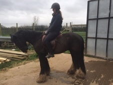 Family horse - 5 yrs 14. 0 hh - Cheshire