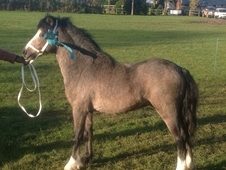 Welsh Section A Gelding