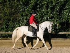 Pony Club Ponies horse - 5 yrs 1 mth 15.0 hh Lemon & White - Kent