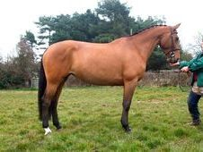 Sports Horses horse - 9 yrs 16.0 hh  - Sussex