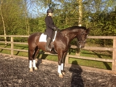 Flashy Looking Gelding