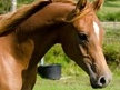 Arabs horse - 2 yrs 2 mths 14.3 hh Chestnut - Powys