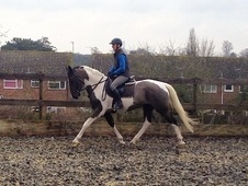 Dressage horse - 4 yrs 16.1 hh Coloured - Kent