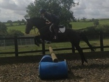 16hh 7 Yr Old Homebred Mare