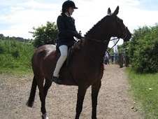 All Rounder horse - 14 yrs 1 mth 16.1 hh Bay - Cheshire