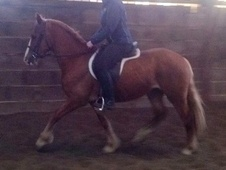 Mountain & Moorland horse - 3 yrs 13.2 hh Chestnut - West Yorkshire
