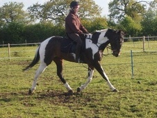 All Rounder horse - 8 yrs 15.3 hh Coloured - Cheshire