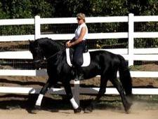15 hh Black Friesian Cross Ride and Drive Gelding