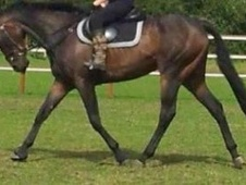 All Rounder horse - 6 yrs 10 mths 16.2 hh Bay - Lincolnshire