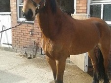 14. 1 bay cob cross gelding