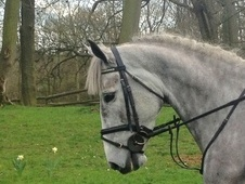 Riding Club Horses/Ponies horse - 6 yrs 15.3 hh Grey - Kent