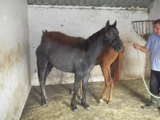 Smokey Exceptional Yearling For Sale