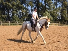 Lovely Dressage/allrounder Cob