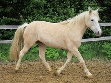 100 % Bombproof Child's Pony For Sale