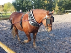 Suffolk Punch Gelding