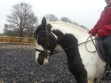 Cobs horse - 5 yrs 15.2 hh Piebald - West Yorkshire