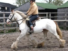 Driving horse - 5 yrs 14.1 hh Coloured - Cheshire